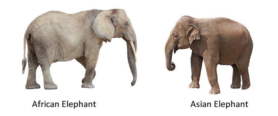 Hasil gambar untuk african and asian elephants