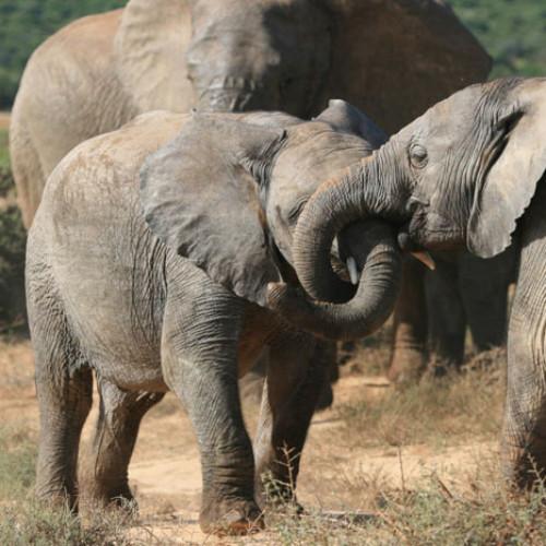 Elephant Information