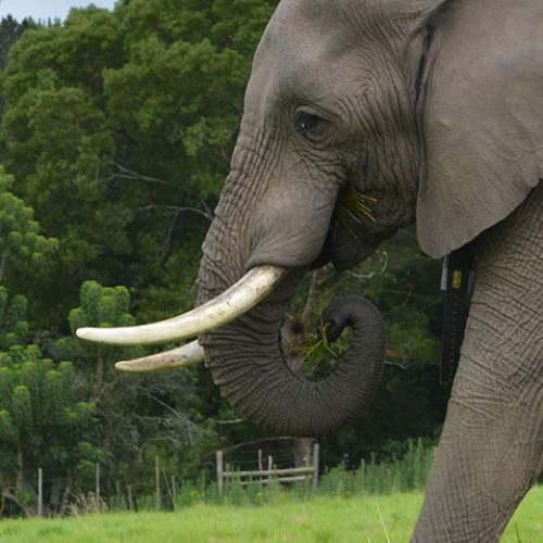 African Elephant Head Profile