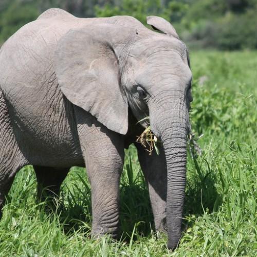Exposed: Tanzania's Elephant Killing Fields