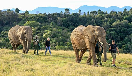 Elephant Walks at The Knysna Elephant Park